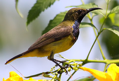 Olive becked Sunbird (nectarina jugularis) male (Thai pix Wildlife photography,,) Tags: cinnyrisjugularis nectarina nectarinajugularis
