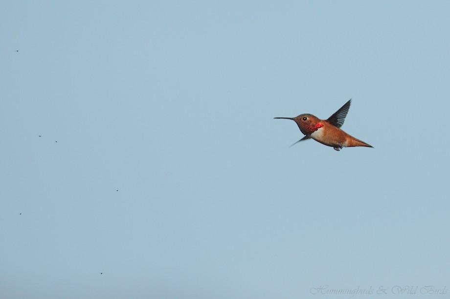 Allen's Hummingbird 121110