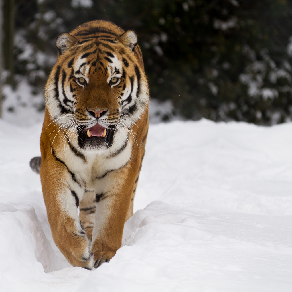 That viral photo of tigers chasing a drone was almost certainly taken