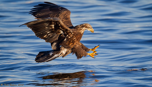 golden eagle fishing flickriver todd ryburns most interesting photos