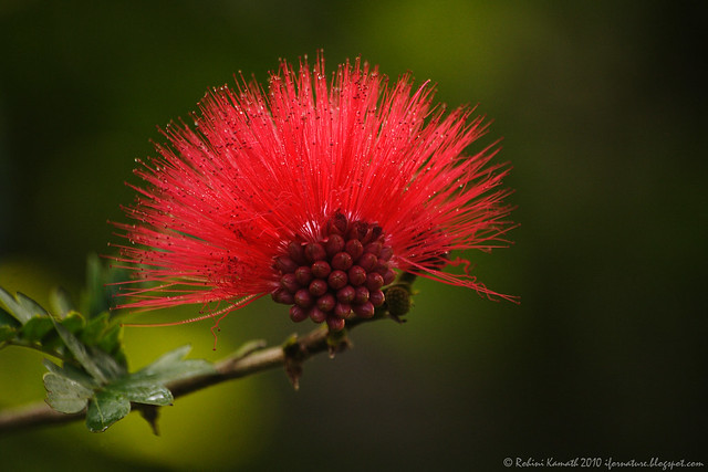 Red and Fluffy