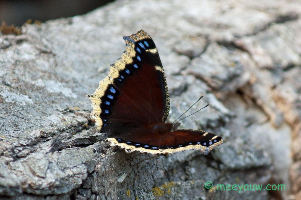 mourning cloak butterfly   04.jpg