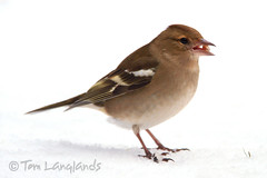 Chaffinch (Tom Langlands Photography) Tags: bird nature fly wings wildlife flight ornithology avian chaffinch fringilla coelebs