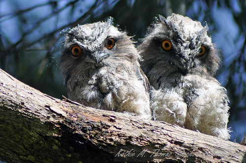 Tawny Frogmouth youngsters