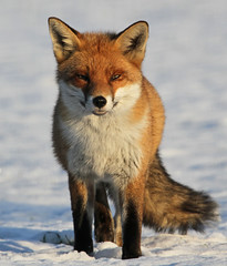 All Grown Up (Dan Belton ( No Badger Cull )) Tags: uk winter red snow ice mammal cub december native wildlife age fox kits cubs kit loughborough vulpesvulpes leceistershire