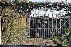 Maria Antonieta (Titi Macedo ( Fotografía analógica)) Tags: flores casa pentax k1000 entrada rosas chacabuco