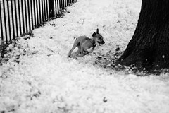 Dogpark18 (Aya Rosen) Tags: park winter snow cold dogs ginger blizzard dogrun mccarran