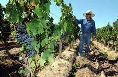 Pronostican 6% más uva que en 2010