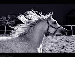 Horse (Al HaNa Al Junaidel  =)) Tags: horse arabian                   alhana             canon450d                   aljunaidel