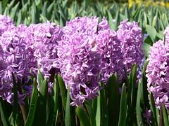 Hyacint / Hyacinth (eszsara) Tags: flower netherlands nederland thenetherlands hyacinth virág keukenhof bloem hyacint lisse hollandia hyacinthusorientalis jácint