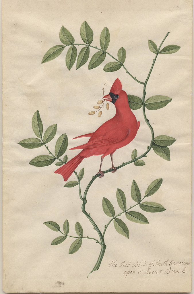 Locust, Red Bird