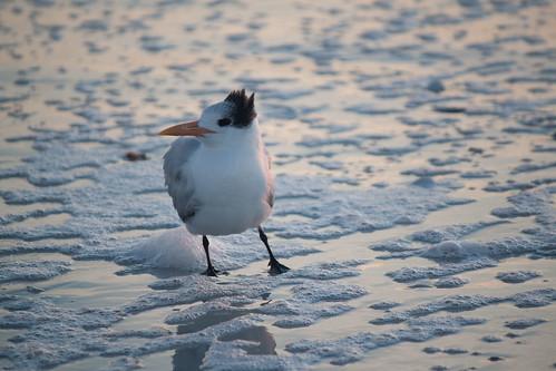 Royal tern on the Marco Island beach
