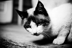 Serious Cat #8/365 (A. Aleksandraviius) Tags: bw white black oneaday cat 35mm nikon photoaday 365 nikkor pictureaday d90 project365 365days 8365 nikkor35mm nikond90 365cats project365cats f18g 35mmf18g afsdxnikkor35mmf18g nikon35mm18g 3652011