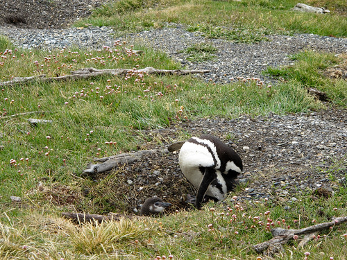 Penguin Nest on the Beagle Channel - Tierra del Fuego, Argentina