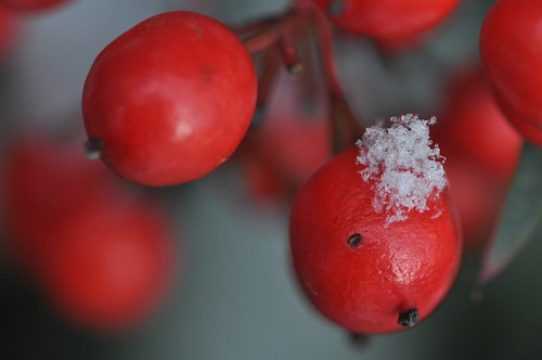 Nandina berries after snowfall... EXTREME close-up!