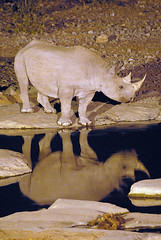 Black Rhino Reflection