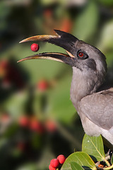 TOSS BY THE BOSS.........Indian Grey Hornbill (Ocyceros birostris) (sharadagrawal931978) Tags: india bird nature birds canon eos wildlife january sigma os apo rajasthan udaipur dg critique sharad agrawal 2011 hsm bucerotidae specanimal 40d ocyceros birostris f563 150500mm