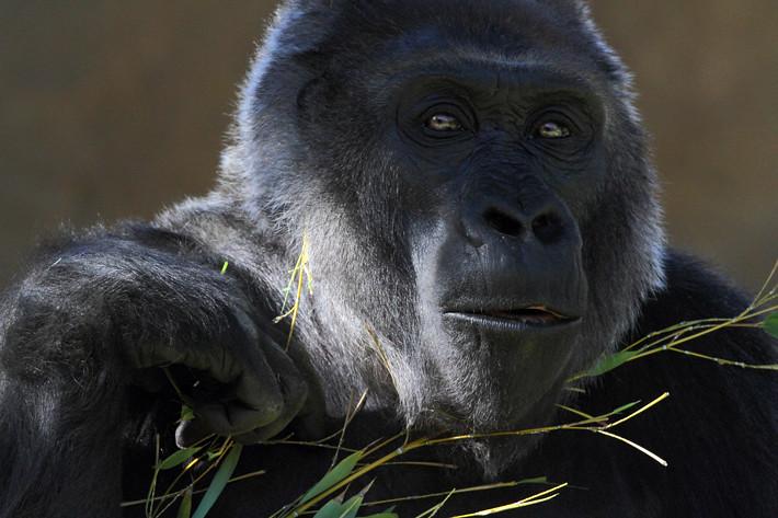 011211_gorilla