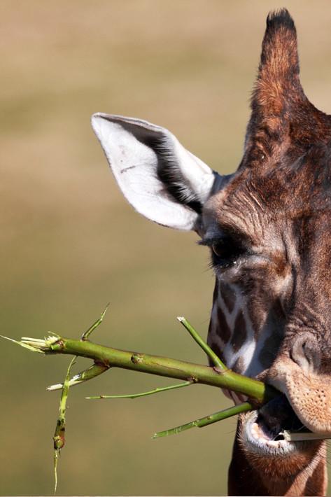 011211_giraffe1