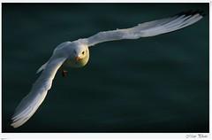 You again? (Mem Photo) Tags: italy mare campania seagull lungomare salerno gabbiano ohhh golfo canonef70200mmf4lisusm canoneos7d mem7672 httpballoonaprivatthumbloggercom highqualityanimals