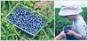 Blueberry picking (Gladly Beyond) Tags: blur lensbaby pen photoshop dof bokeh australia olympus blueberry nsw olympuspen blueberries composer lightroom fruitpicking selectivefocus blueberryfarm suttonforest epl1 microfourthirds