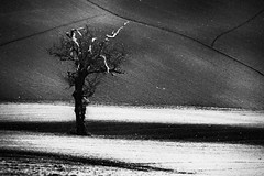 Winter standing (Effe.Effe) Tags: bw tree monochrome lines oak hill bn rows groove sillon colline lignes furrows linee surco quercia solchi