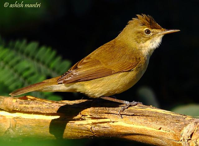 2011_01_16_011390 Blyths reed warbler Copy