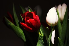 Tulip. (2) (Owen Schooley) Tags: lighting flowers red flower nature high key tulip