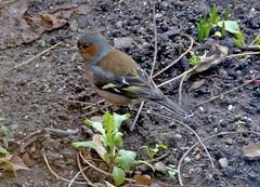Chaffinch - Rear side view (Dreamsmitten) Tags: uk male bird earth gloucestershire soil gb chaffinch