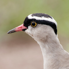 Crowned Lapwing - MAC-Kenya