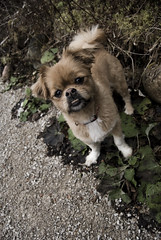 Clover (Fake Plastic Alice) Tags: brown white cute outside nikon walk pekingese clover smushy japanesechin ilovemydog d80