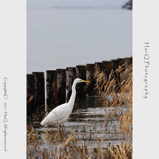 an Egret *
