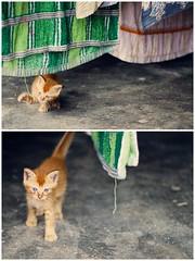 2.5.11 (obo-bobolina) Tags: cat kitten diptych may kitty malaysia 365 cherating 2011 project365