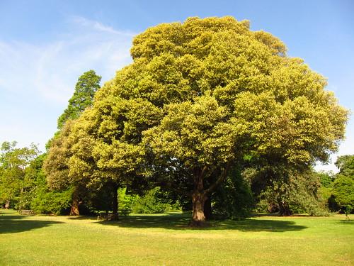 Holm Oak, Kew Gardens