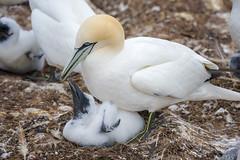 Little Gannet (Golden_Arrow) Tags: gannet baby little perce quebec bonaventure island