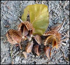 Semi di faggio (ninin 50) Tags: ilmiogiardino faggio autunno semi fiori nature ninin