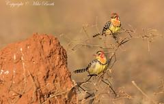 Red-and-yellow Barbet (Trachyphonus erythrocephalus) (www.mikebarthphotography.com 2M Views thanks !) Tags: birds ethiopia oromia redandyellowbarbet trachyphonuserythrocephalus