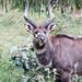 Mountain nyala in Bale Mountains National Park