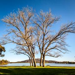 Lake Burley Griffen Trees-1 (Quick Shot Photos) Tags: act australia canberra canon floriade nsw theresa yarralumla australiancapitalterritory au