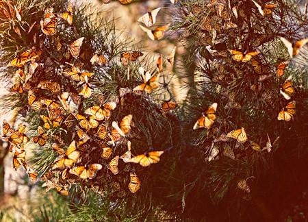 Миграция бабочек-монархов (10 фото + видео)
