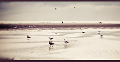 Some fly, others yearn to. (Gladly Beyond) Tags: ocean sea mer seagulls kite blur france beach silhouette lensbaby sand dof flight sable olympus crossprocessing vol olympuspen normandy plage composer selectivefocus cerfvolant letouquet cinemacrop golands epl1 microfourthirds