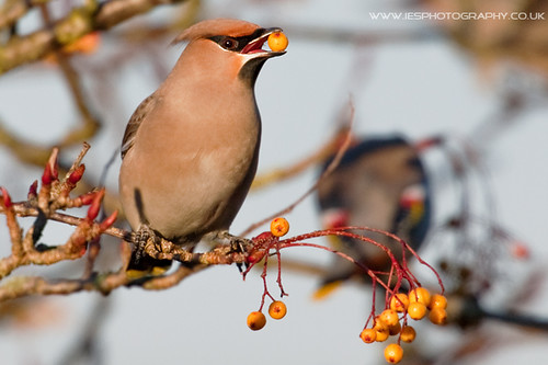 5215061141 392a830991 Waxwings in the UK
