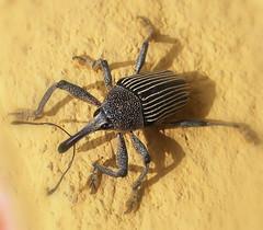 Macro bug (tinica50) Tags: macro bugs insetos curculionidae weevils snoutbeetles wonderfulworldofmacro beautifulmonsters curculios