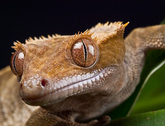 New Caledonian Crested Gecko (Rafe Abrook Photography) Tags: new wild macro animals reptile sigma olympus lizard arena workshop tropical gecko e3 crested caledonian 150mm mywinners bestofmywinners frontpagebestofblinkwinners blinksuperstars