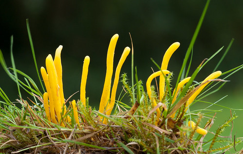 yellow club fungus