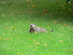 "Aug06_WoodchuckLooksUpAtMe • <a style=""font-size:0.8em;"" href=""http://www.flickr.com/photos/30765416@N06/5247464487/"" target=""_blank"">View on Flickr</a>"