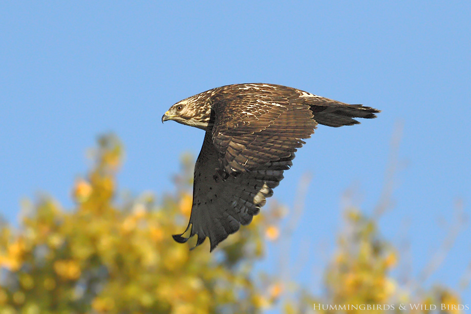 Broad-winged-Hawk-121013
