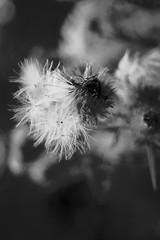 Thistle seeds (ammgramm) Tags: blackandwhite bw film 35mm blackwhite soft pentax feather down spotmatic ilford thistles filament fibre sp4