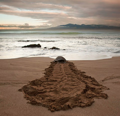 Turtle Tracks (mojo2u) Tags: beach hawaii pacific turtle maui pacificocean kapalua kapaluabay turtletracks nikon2470mm nikond700