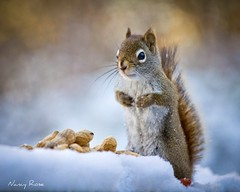 Ooooh, cold nuts! (Nancy Rose) Tags: snow cold squirrel nuts flurries fbdg blinkagain bestofblinkwinners blinkagainsuperstars